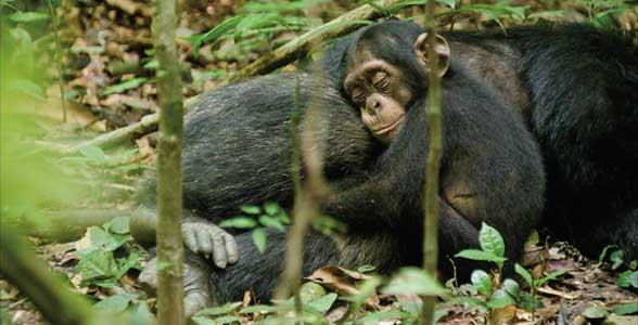 'Chimpanzee' delivers compelling monkey-business from Disney
